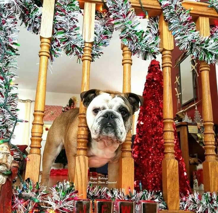 English Bulldog - Christmas