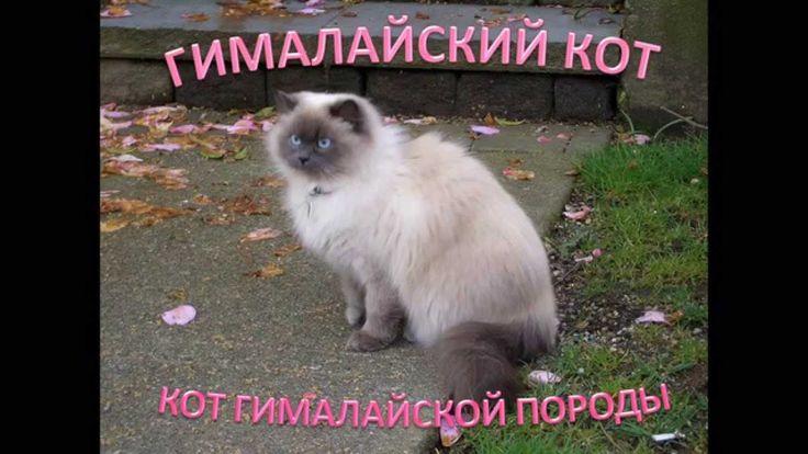 Гималайский кот: коты гималайской породы