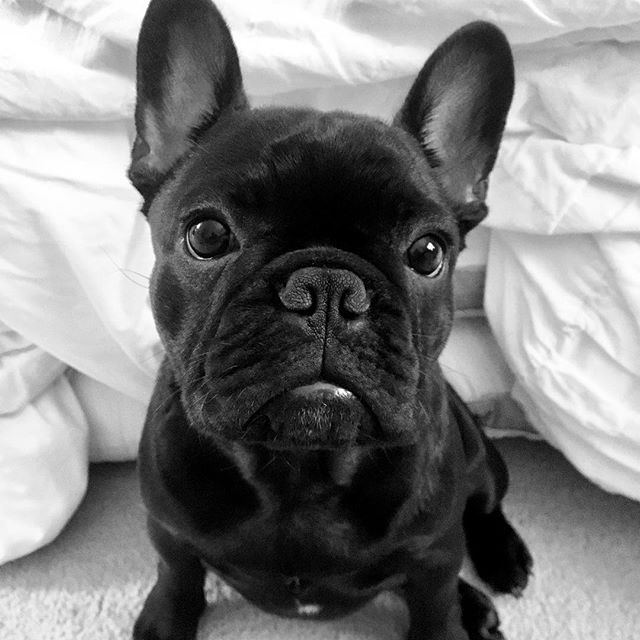 Meet Finn a French Bulldog Puppy! http://ift.tt/2yJ5pCB