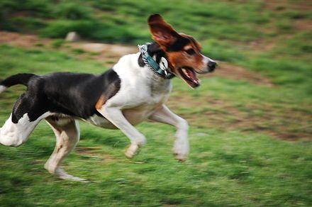 Treeing Walker Coonhound - Wikipedia, the free encyclopedia