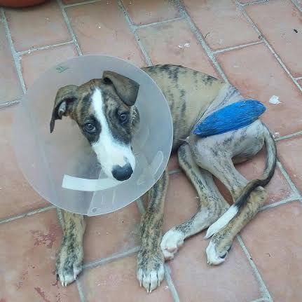 """Verano n'a que 3 mois ! Pourquoi ce bébé a-t-il été jeté dans une poubelle ? Sans doute que sa fracture le rendait """"inutilisable""""... Des frais lourds sont engagés pour donner un avenir à ce très gentil chiot, son sauvetage a besoin de votre participation. Tous ensemble nous rendrons justice à ce très jeune chien victime de la barbarie ordinaire en Andalousie."""