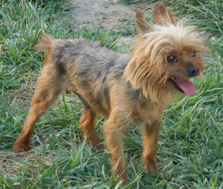 Adopt arcas on petfinder yorkshire terrier dog