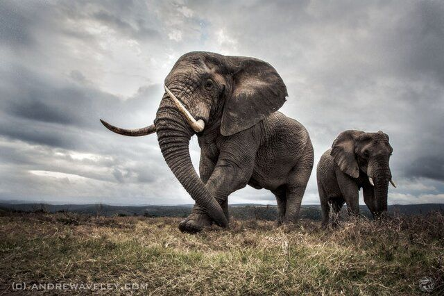 A large bull elephant in dark and overcast conditions, gracefully feeding and watching over his herd. by Andrew Aveley Photography Website FB Page Twitter Google+