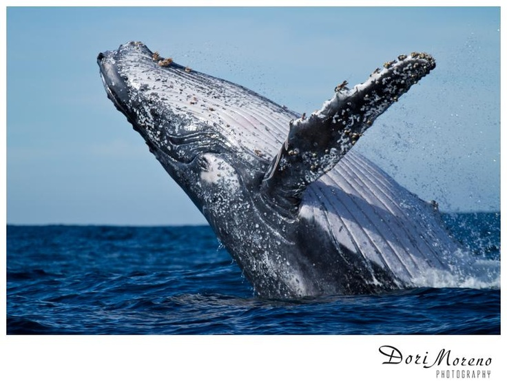 A humpback whale puts on an aerobic display by breaching. Photo taken during the sardine run in Port St Johns, South Africa