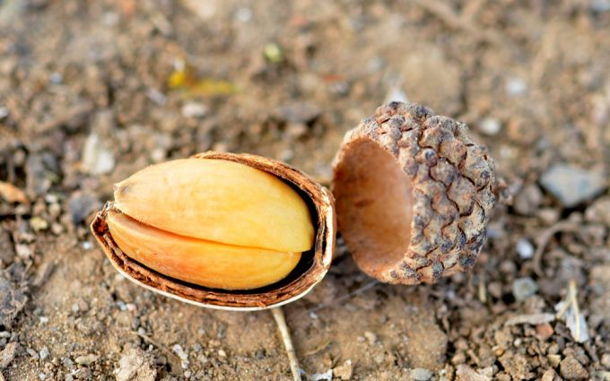 How to Prepare Acorns for Food and Medicinal Uses
