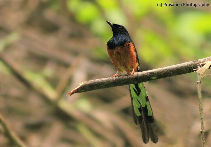 White-rumped Shama is a colorful and one of the finest songbirds found in South and South East Asia. Typically there habitat is dense & bamboo forests. The male bird is around 25 cm and known to be very territorial. The bird was earlier placed in Thrush family hence it is also called Shama thrush. Shot @ Ganeshgudi, Western Ghats (UNESCO world heritage site), India. By Prasanna Bhat