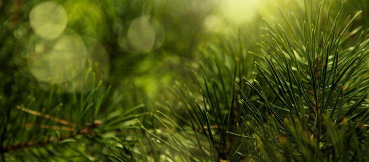 Syrop sosnowy - prosty i tradycyjny przepis na skuteczny syrop z sosny