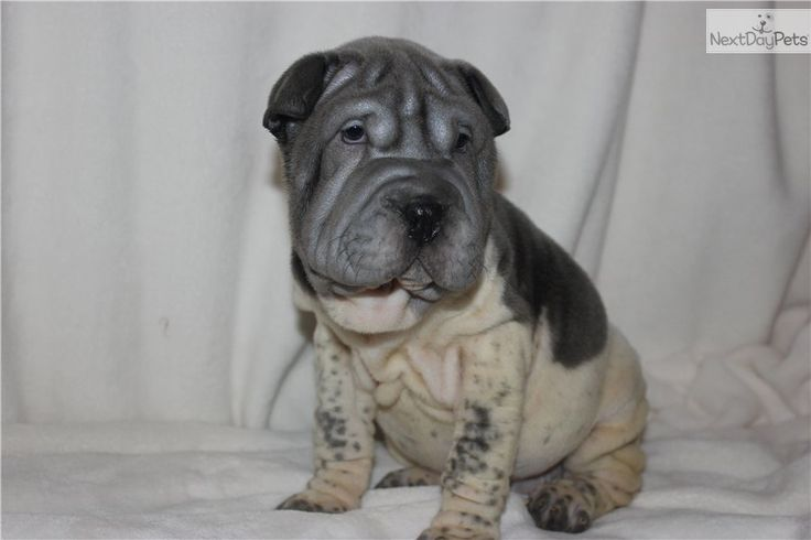Meet POTTER a cute Chinese Shar-Pei puppy for sale for $700. POT OF GOLD....BLUE FLOWERED AKC MINI (SOLD!)