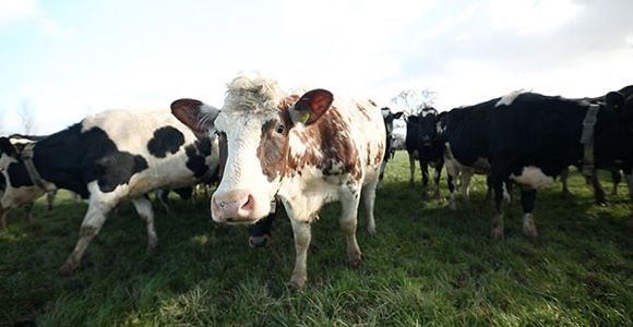 WHY FARMERS ARE CONNECTING THEIR COWS TO THE INTERNET.