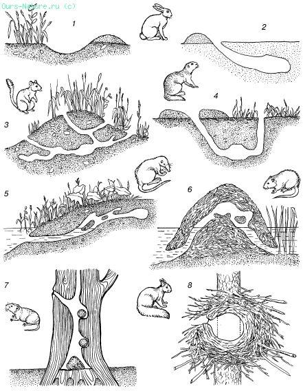 1 – логово зайца‑русака в песчаных дюнах; 2 – снежная нора зайца‑русака; 3 – летняя нора полуденной песчанки; 4 – нора малого суслика; 5 – нора выхухоли; 6 – хатка ондатры; 7 – гнезда рыжей полевки в дупле дуба; 8 – зимнее гнездо обыкновенной белки
