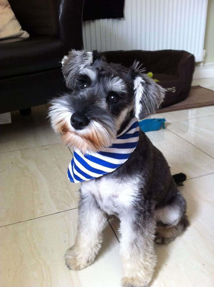 17 Best images about So cute on Pinterest | Schnauzer dogs ...