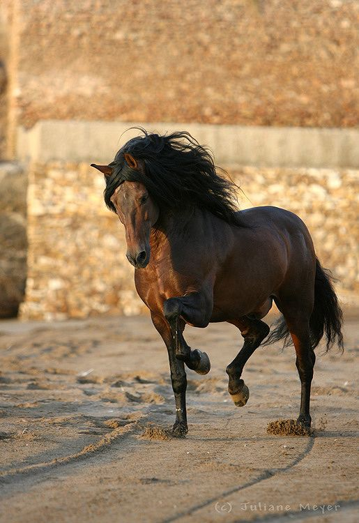 Bay Andalusian stallion.