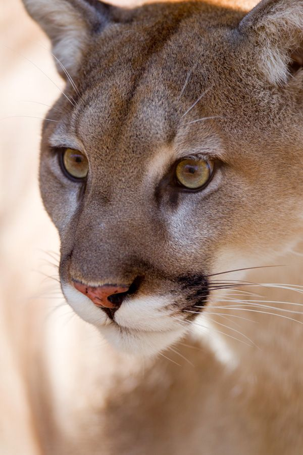 Mountain lion face - photo#52