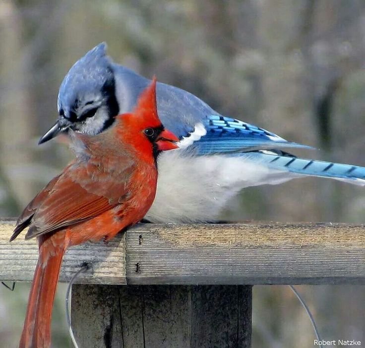 The 25+ best Blue jay tattoo ideas on Pinterest | Chest ...