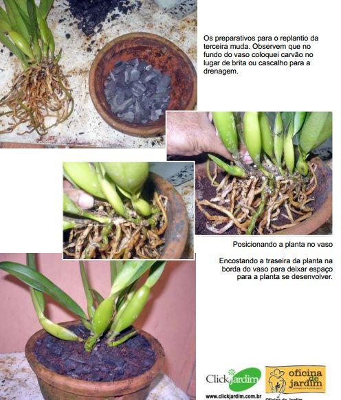 Paixão por orquídeas - Meu orquidário: Fazendo mudas de orquídeas - Parte II: Plantando as mudas