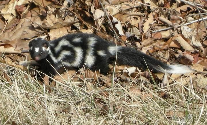"""Eastern spotted skunk at Shenandoah National Park. """"The Eastern spotted skunk is a very small skunk. The stripes on its back, which are broken in pattern, make it appear """"spotted"""". Eastern spotted skunks are quite secretive, and it is infrequent for humans to see them. They are more active than any other type of skunk. Eastern spotted skunks perform handstand before spraying a potential predator. These amazing acrobats will climb trees and come back down head first. """""""