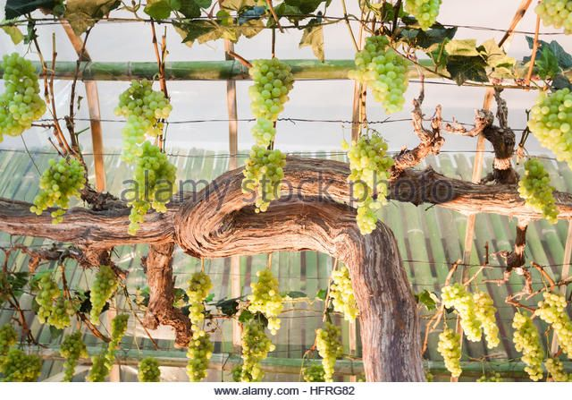Bunches of grapes hang from a vine, stock photo - Stock Image