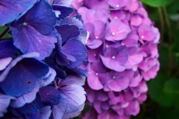 Come potare le ortensie. Le ortensie sono piante molto comuni nei giardini e balconi, grazie ai suoi fiori grandi e vistosi caratterizzati da diversi colori di un'ampia gamma cromatica. È molto facile piantare talee di ortens...