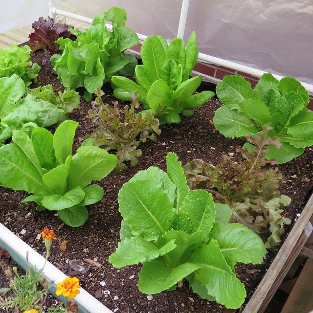 Lettuce grown in SIP self-watering grow boxes. Yum! They never run out of water. So crisp. So delicious. So... what are you waiting for!? #SelfWatering #UrbanGardening #Lettuce