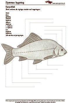 karpefisk med e