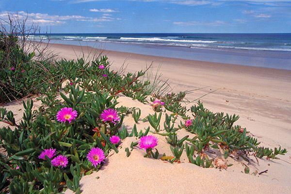 Carpobrotus rossii - Australian native plants