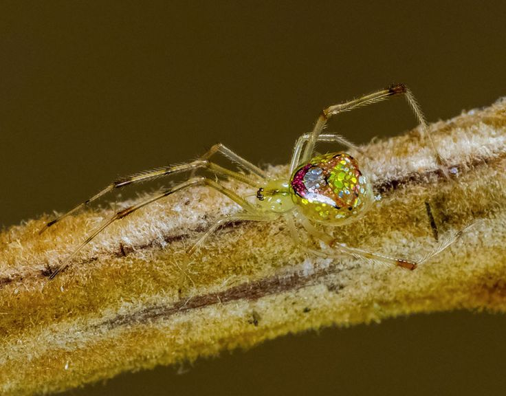 This isn't a stained-glass sculpture or piece of delicate jewelry – it's a real live spider. These spiders, called mirror or sequined spiders, are all members of several different species of the thwaitesia genus, which features spiders with reflective silvery patches on their abdomen.///// Bored Panda