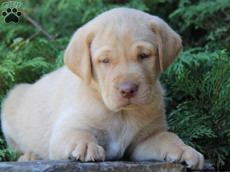 Louie, Yellow Lab puppy for sale from New Holland, PA