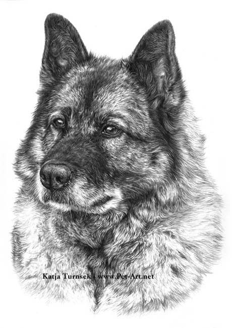 (this portrait really reminds me of Shadow my handsome man).  drawing dogs | Dog portraits in pencil of Norwegian elkhound Taisho