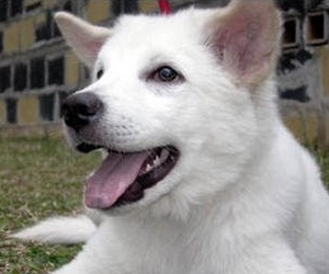 KINTAMANI DOG/キンタマーニドッグ