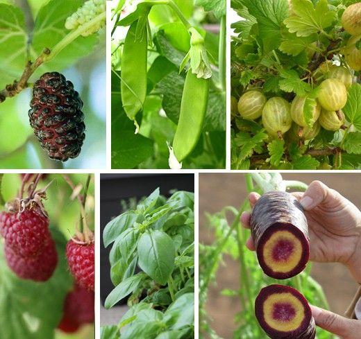 Rozhodujeme se, které jedlé rostlinky, keře či stromy chceme mít v zahradě. Zahrada není nafukovací, a tak je nekompromisním kritériem, co ...