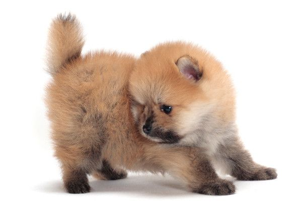 pomeranian with no hair 31 best puppy s and dogs images on pinterest california 4976