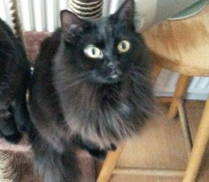 Cookie missing from Manchester  Reference Number: 3837 Date missing: 24-01-2015 Missing from: Didsbury, Manchester, m20 6hl  Cat name: Cookie Colour: Black Sex: female Age: young adult Size: small Neutered: Yes Microchipped: Yes Collar detail: No  http://www.cataware.co.uk/missing-cat-blog.php?ID=3837