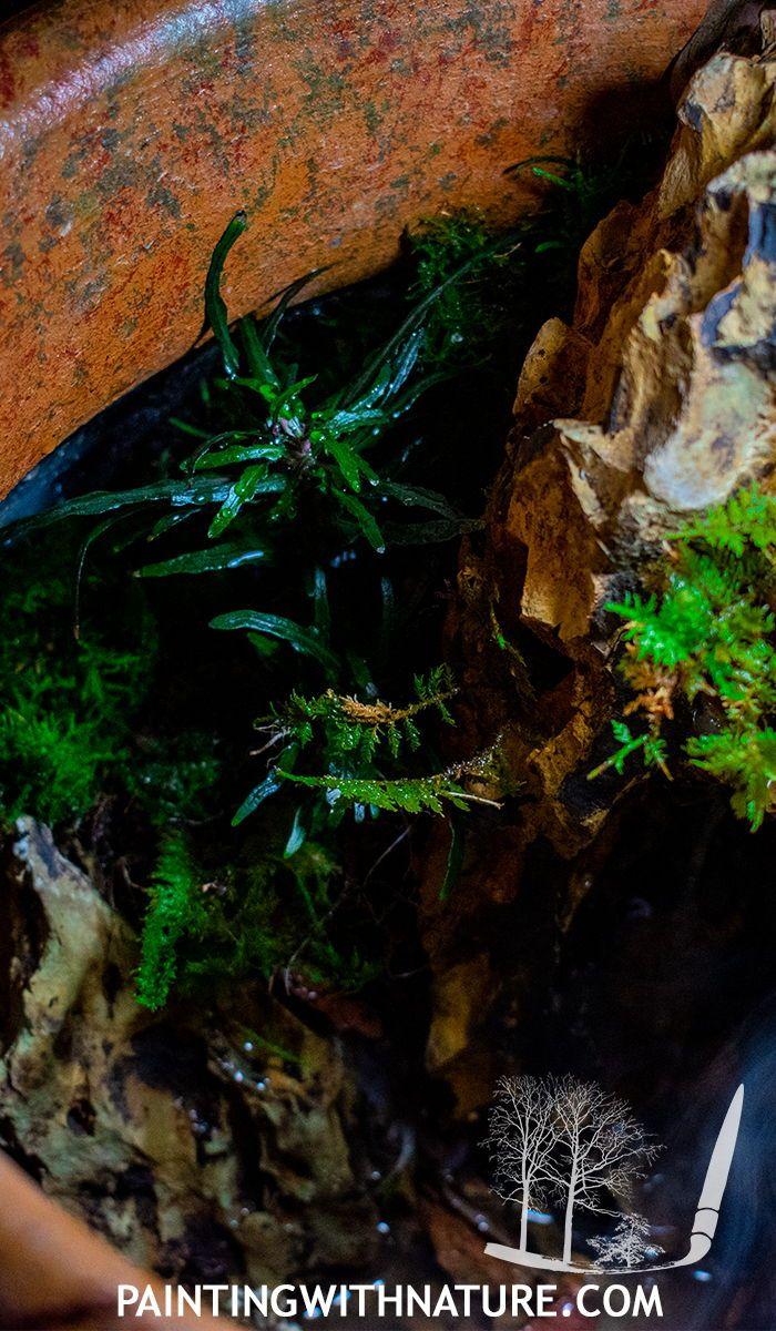 Dragon S Tongue Hemigraphis Repanda Inside The Pot Terarrium Terrarium Pots Waterfall Features Types Of Moss