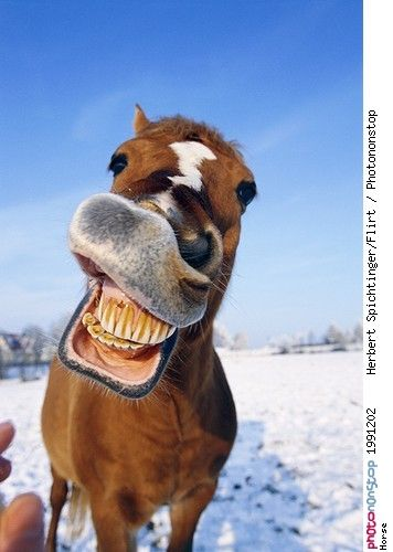 Horse - Anatomie - Cheval souriant