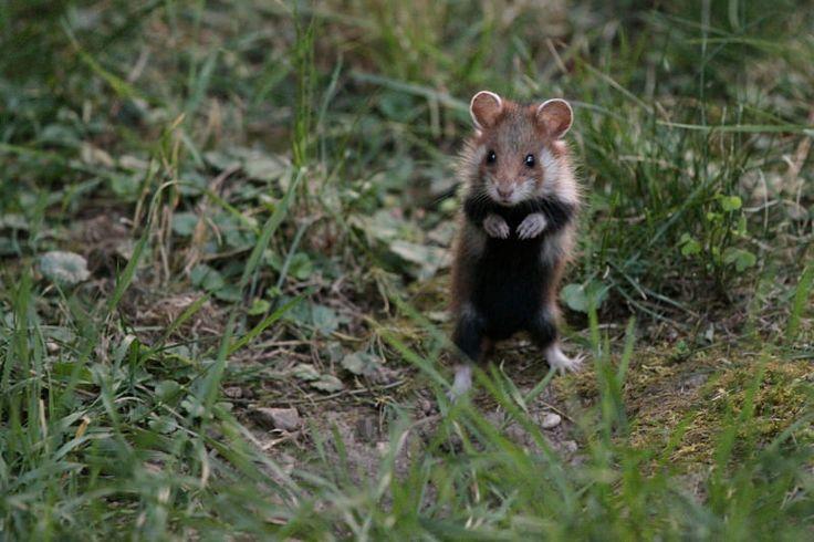 Baby European hamster | wild hamster