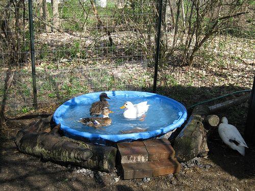 74 best images about ducks on pinterest raising ducks for Homemade biofilter for duck pond