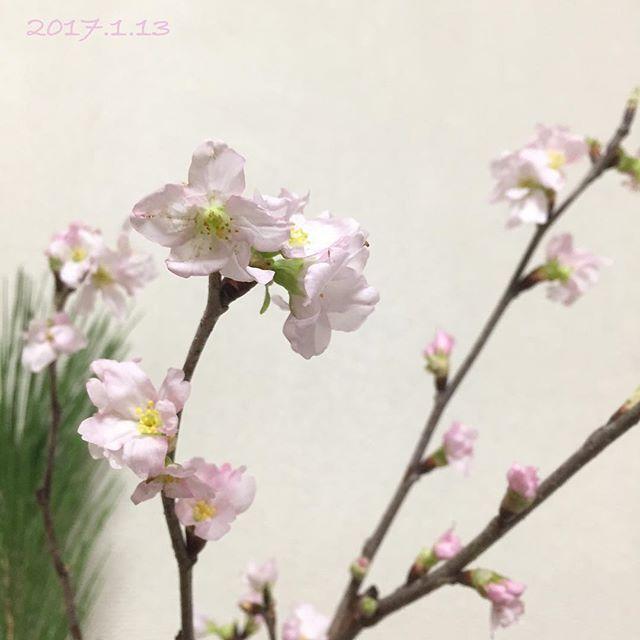 【mikit_y.so_mo_】さんのInstagramをピンしています。 《*** 啓翁桜🌸 * お正月に飾った松だけが元気💪 花がないと寂しいので…😅 * 明日からセンター試験という事で、 全国の受験生の皆さんへ、 ひと足早く「サクラサク🌸」 力を発揮できますように🙏 (個人的には小林秀雄氏の評論が 出題されない事を祈ります💦) *  #啓翁桜  #桜  #早春を告げる花  #松 は元気  #なでしこ もこの下にあるの  #サクラサク  #センター試験  #全国の受験生  #ファイト  #はなまっぷ  #花のある暮らし  #花のある生活  #flower  #夢見る夢子部》