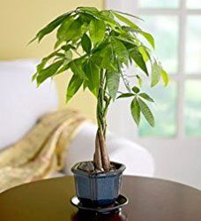 Money tree plant care is easy. According to feng shui, money tree will bring good luck and fortune. Get tips to help your plant prosper.