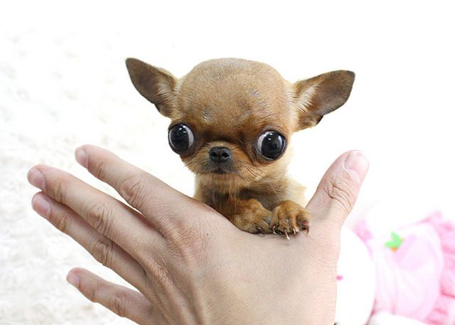 Teacup Chihuahua Puppies | Recent Photos The Commons Getty Collection Galleries World Map App ...