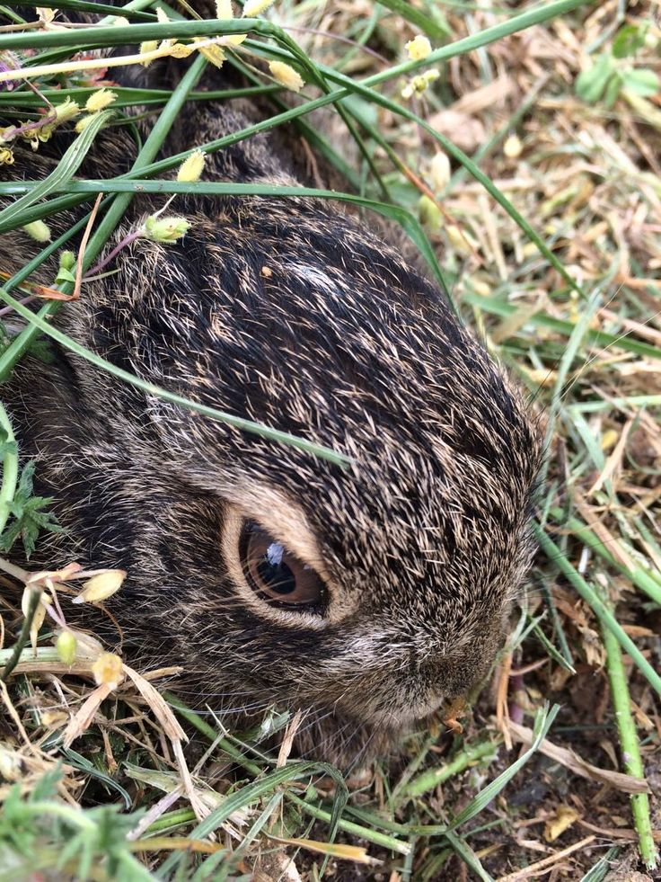 Look who is living in our Palazzo Della Torre Vineyard.  A little rabbit keeps the workers company.