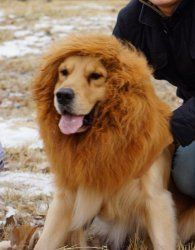 Halloween costumes for large dogs - lion