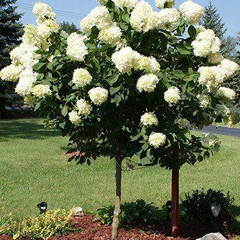 Best 25 small ornamental trees ideas on pinterest small garden ornamental trees flowering - Fastest growing ornamental trees ...