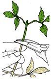 Черенкование или размножение черенками. Укоренение черенков | Растим растения!