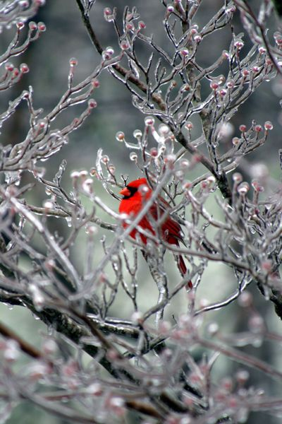 Winter is hard on the beautiful Cardinals. They do not migrate and finding food gets hard. Try to hang feeders where squirrels cannot reach them. Their song is unique. It is chirpy and distinct from other birds. They are so beautiful. Do an act of kindness which will not go unnoticed by The Lord, feed them. From the board, Birds and Birdfeeding.