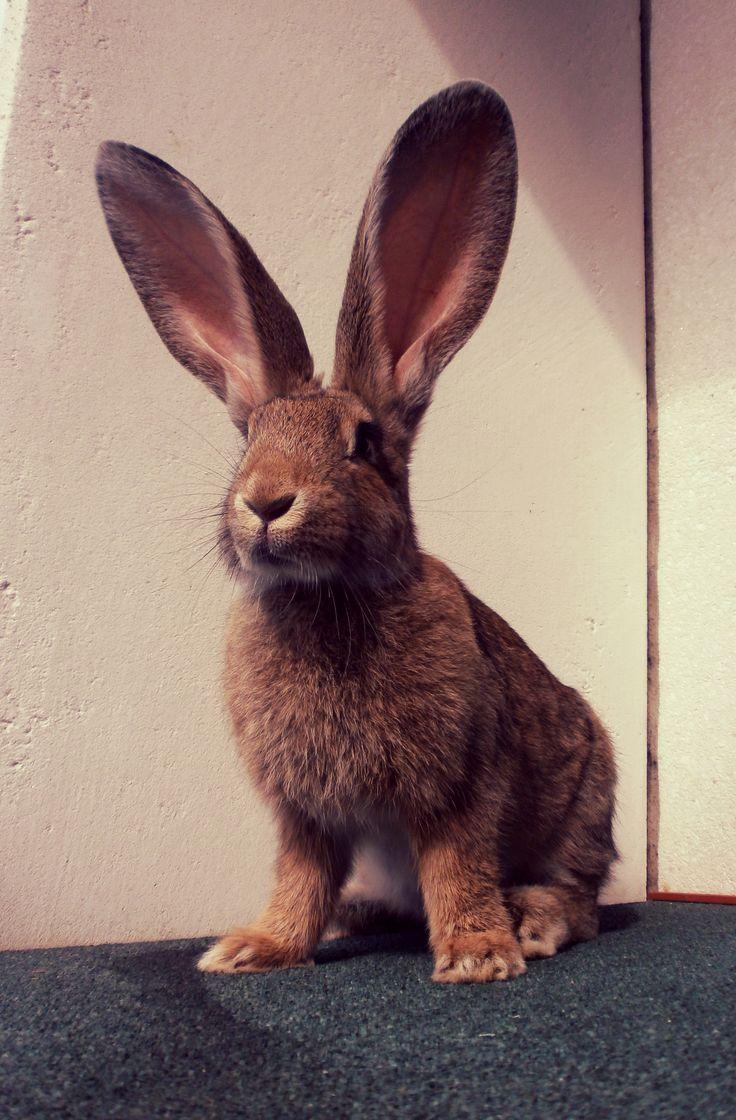 Flemish Giant Rabbit via thetattoobank.com