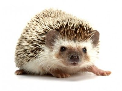 african pygmy hedghog $275 jill's new england hedgehog's babies available late fall!