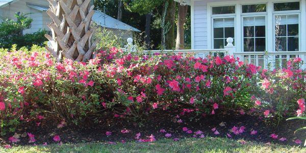 Create Enticing Garden Settings With Intermediate Encore Azaleas Azaleas Landscaping Azaleas Landscape