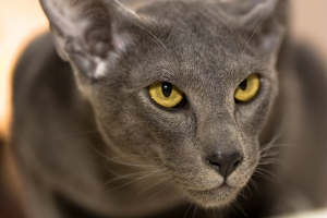 Oriental | The Oriental Shorthair and Longhair are part of the Siamese group and were founded from Siamese with the intention of exploring the many color and pattern combinations beyond points.