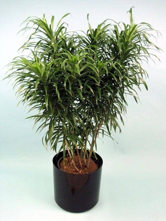 Dracaena anita is quite a bit different from the usual for Plante dracaena