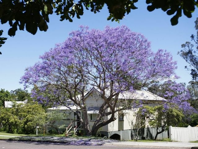 Jacarandas are Blooming Lovely | Ipswich Queensland Times
